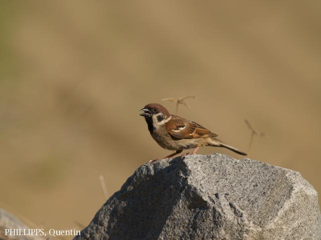image 1817 of Eurasian Tree Sparrow