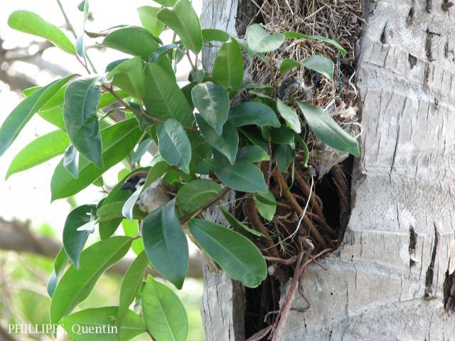 image 1780 of Eurasian Tree Sparrow