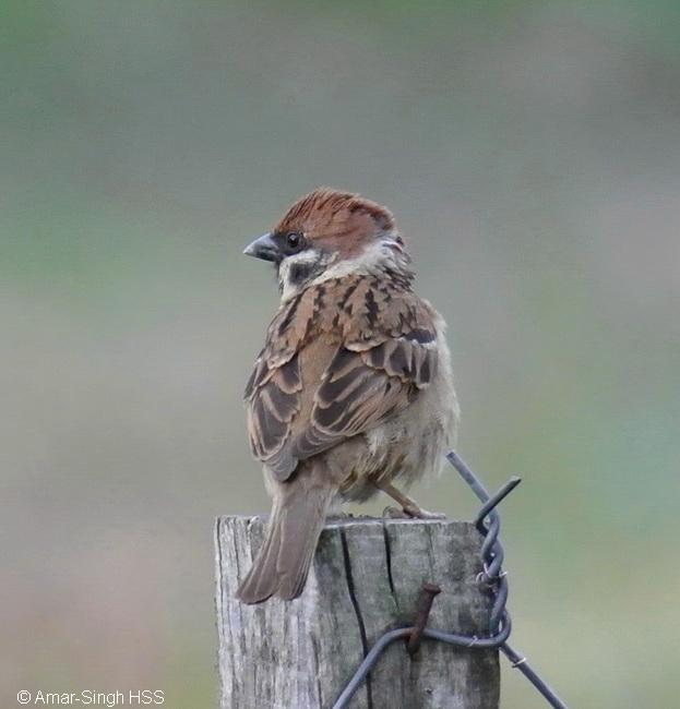 image 6694 of Eurasian Tree Sparrow