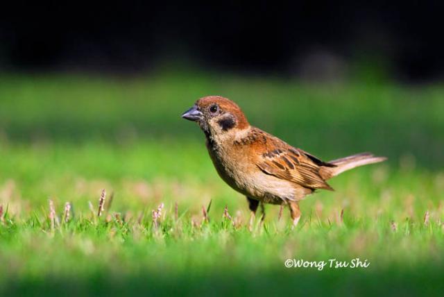 image 409 of Eurasian Tree Sparrow