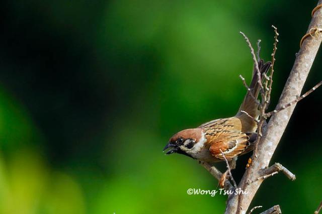 image 407 of Eurasian Tree Sparrow