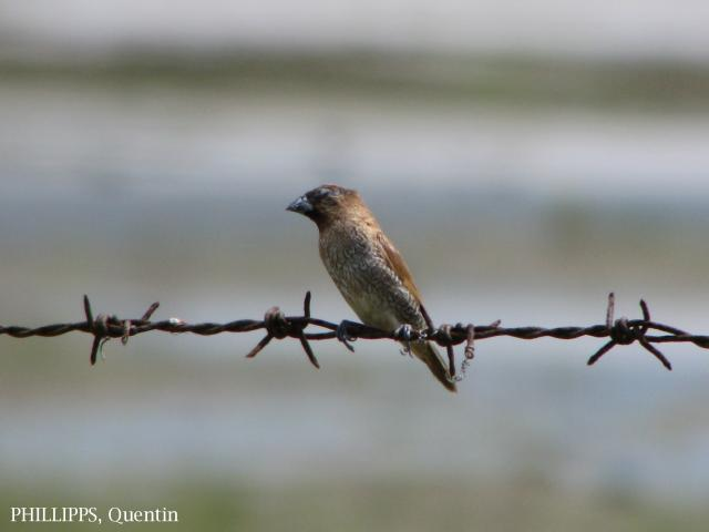 image 1787 of Scaly-breasted Munia