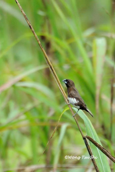 image 986 of White-bellied Munia
