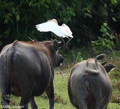 image 2953 of Cattle Egret