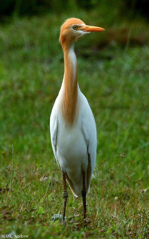 image 2951 of Cattle Egret