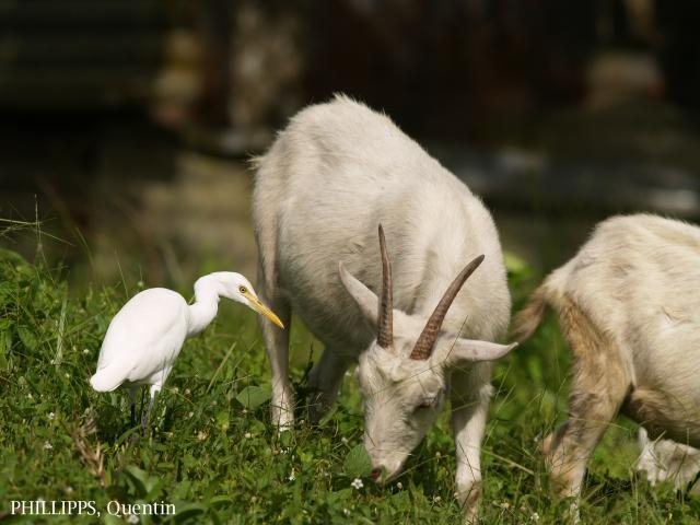 image 1496 of Cattle Egret