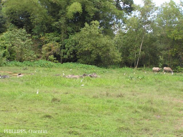 image 1495 of Cattle Egret