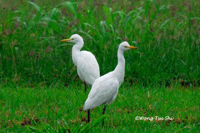 image 822 of Cattle Egret