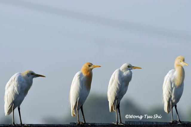 image 417 of Cattle Egret