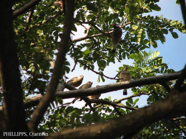 image 1792 of Java Sparrow