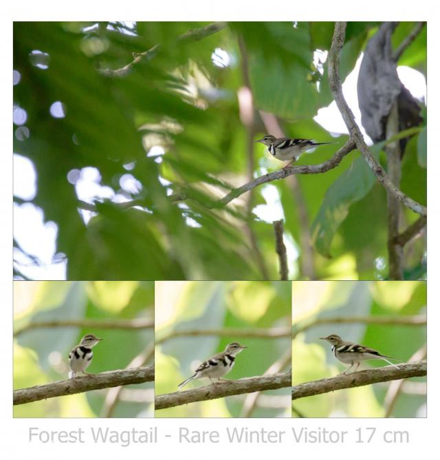 image 7457 of Forest Wagtail
