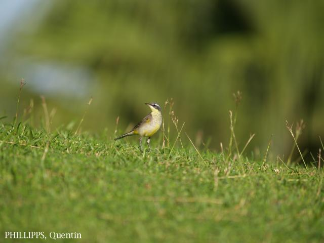 image 1822 of Yellow Wagtail
