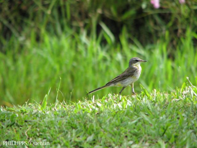 image 1794 of Yellow Wagtail