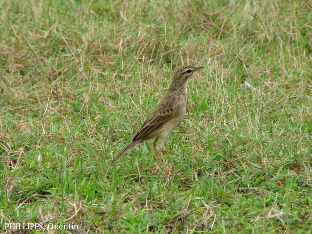 image 1800 of Paddyfield Pipit