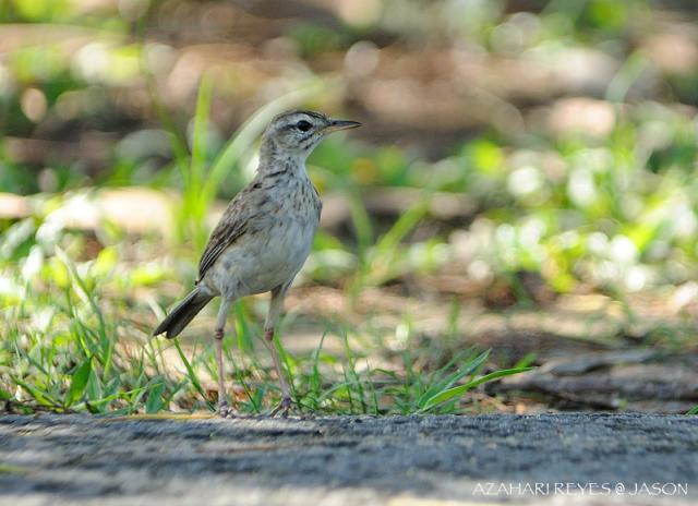 image 4714 of Paddyfield Pipit