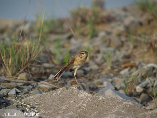 image 1826 of Paddyfield Pipit