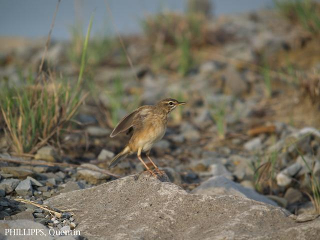 image 1827 of Paddyfield Pipit