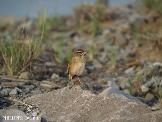 image 1825 of Paddyfield Pipit