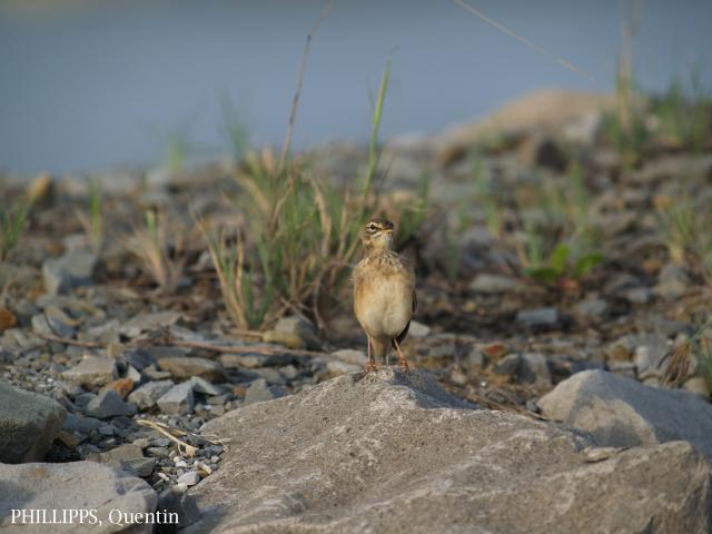 image 1824 of Paddyfield Pipit