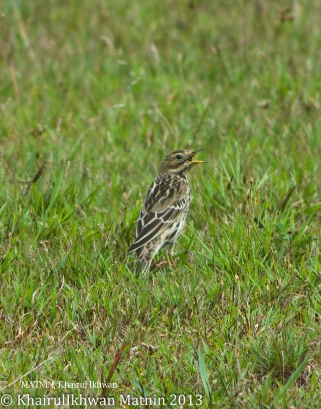 image 6939 of Red-throated Pipit