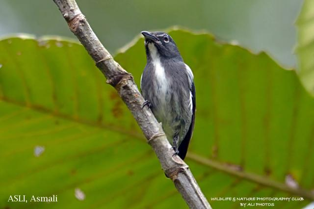 image 7084 of Spectacled Flowerpecker