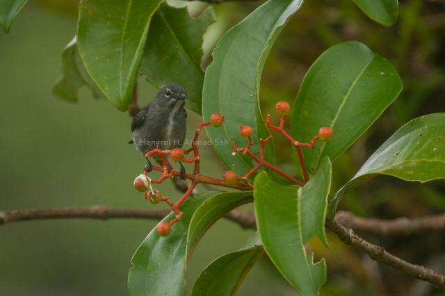 image 7833 of Spectacled Flowerpecker