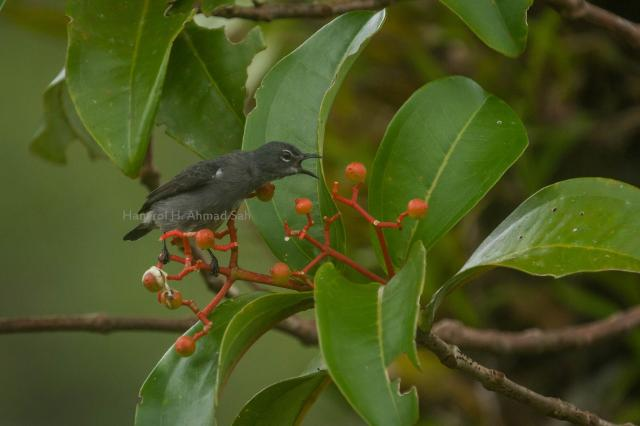 image 7832 of Spectacled Flowerpecker