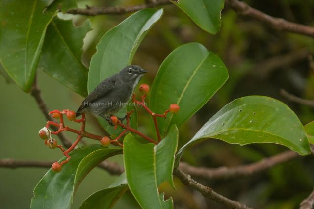 image 7834 of Spectacled Flowerpecker