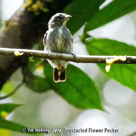 image 7128 of Spectacled Flowerpecker