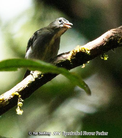 image 7125 of Spectacled Flowerpecker
