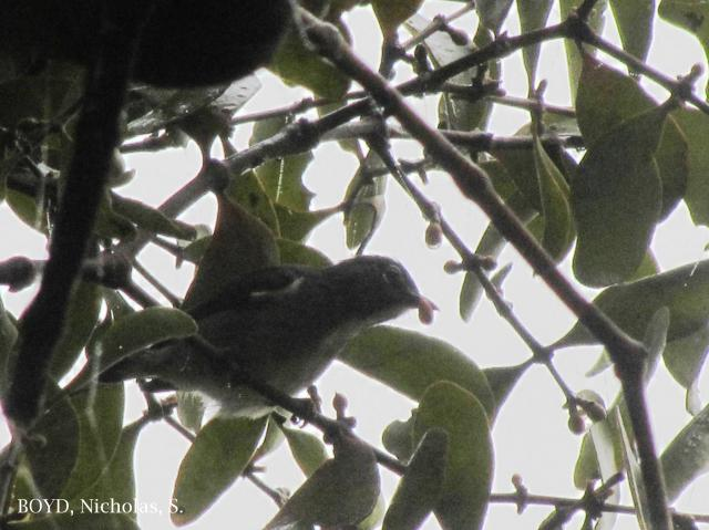 image 8044 of Spectacled Flowerpecker