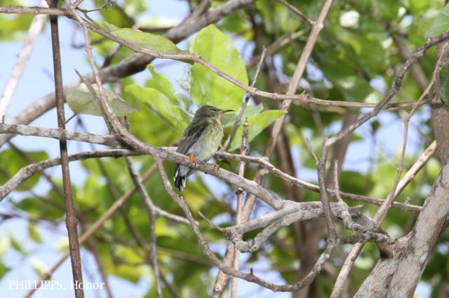 image 5418 of Copper-throated Sunbird