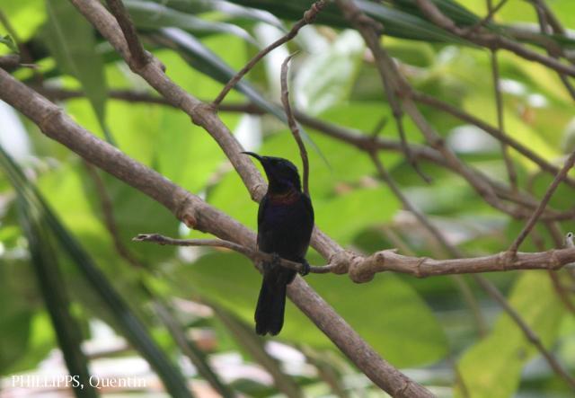 image 5413 of Copper-throated Sunbird