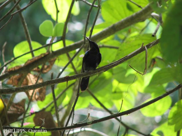 image 1806 of Copper-throated Sunbird
