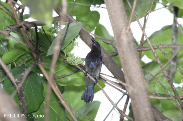 image 5422 of Copper-throated Sunbird