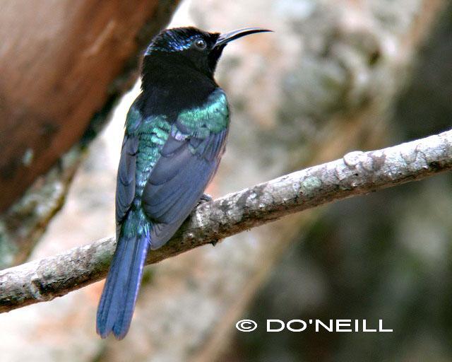 image 6477 of Copper-throated Sunbird