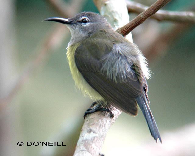 image 6480 of Copper-throated Sunbird