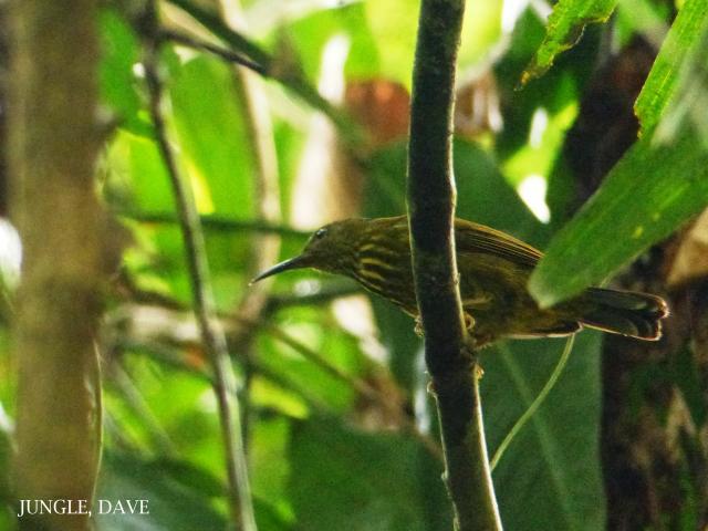 image 7993 of Purple-naped Sunbird