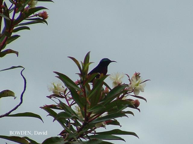 image 7041 of Purple-throated Sunbird