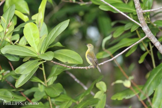 image 5426 of Purple-throated Sunbird
