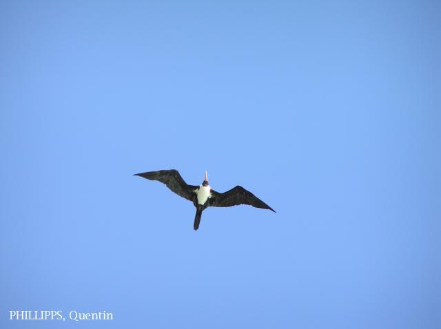 image 1512 of Christmas Island Frigatebird
