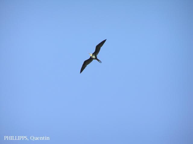 image 1514 of Christmas Island Frigatebird