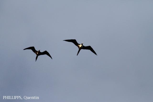 image 5341 of Christmas Island Frigatebird
