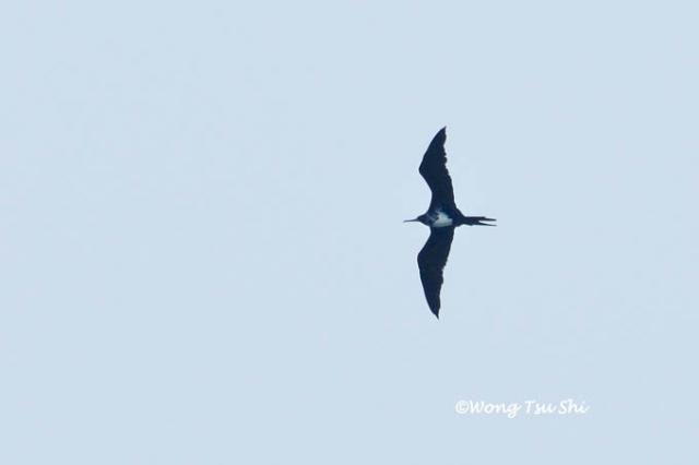 image 824 of Christmas Island Frigatebird