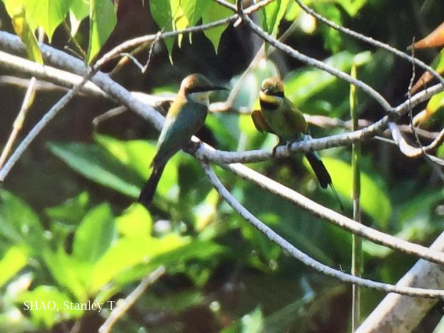 image 7712 of Rainbow Bee-eater