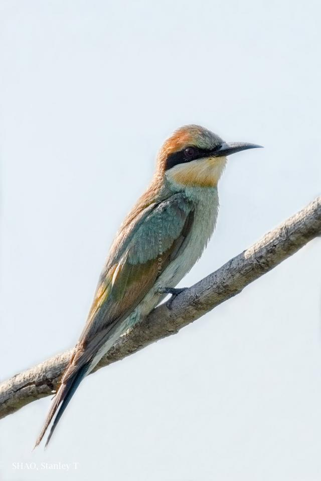 image 7732 of Rainbow Bee-eater
