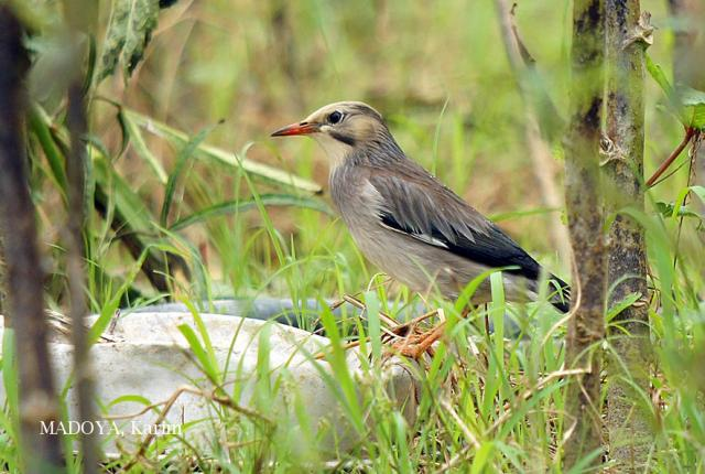 image 6497 of Red-billed Starling