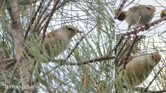 image 7251 of Manchurian Bush-warbler