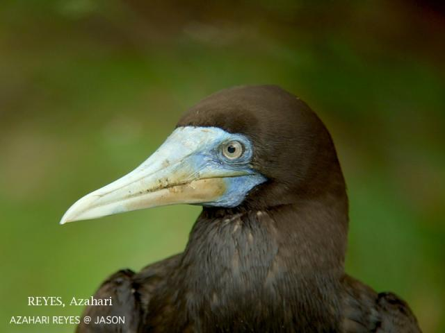 image 3368 of Brown Booby
