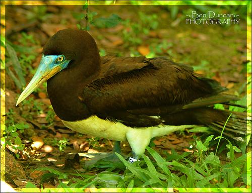 image 3652 of Brown Booby